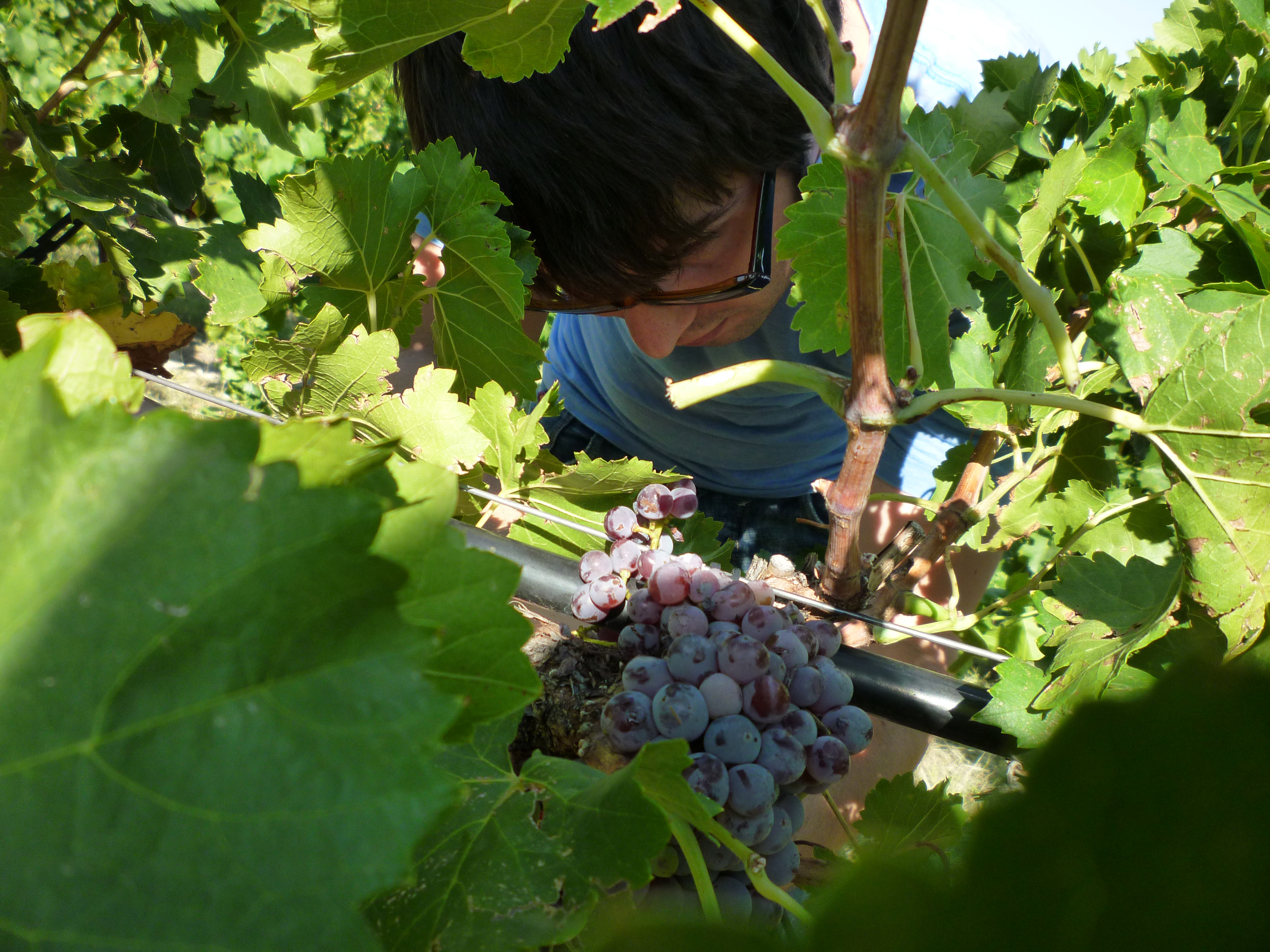 grenache-cluster-and-nathan-brugnone